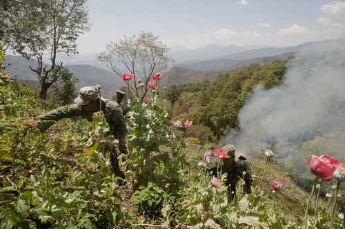 Ejército destruye cultivo de amapola en Nariño