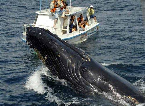 Buenaventura se prepara para temporada de avistamiento de ballenas en Septiembre