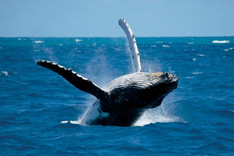 Temporada de avistamiento de ballenas en Buenaventura