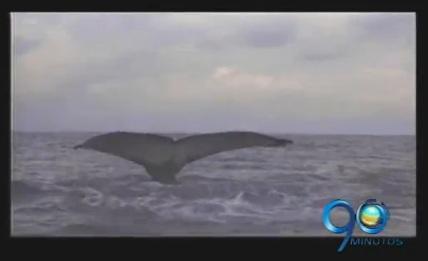 Vuelven las ballenas Yubarta a las aguas del Pacífico en Tumaco