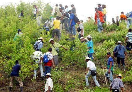 Familias del sur del Cauca iniciaron con erradicación de cultivos ilícitos