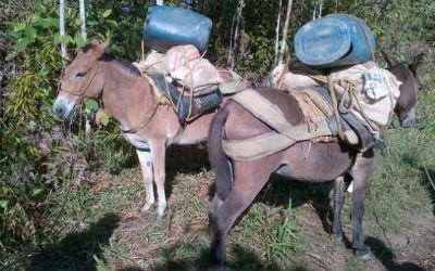 """Caen dos burros """"mula"""" en Nariño. Los dueños de los animales fueron detenidos por el Ejército Nacional"""