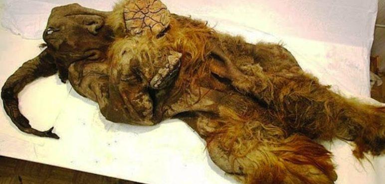 Hallan células vivas en un bebé mamut descubierto en Siberia
