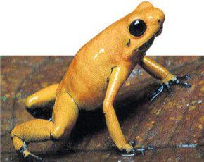 La rana dorada del Chocó podría ser el animal más venenoso del mundo