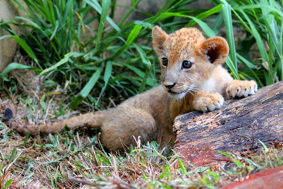El pequeño Bantú, nuevo huésped del Zoológico de Cali