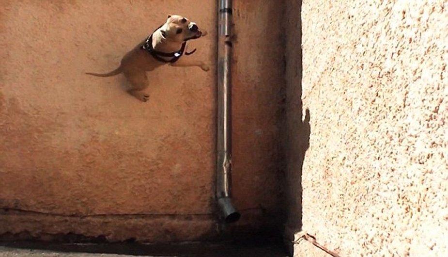 Perro ucraniano con habilidad para el parkour