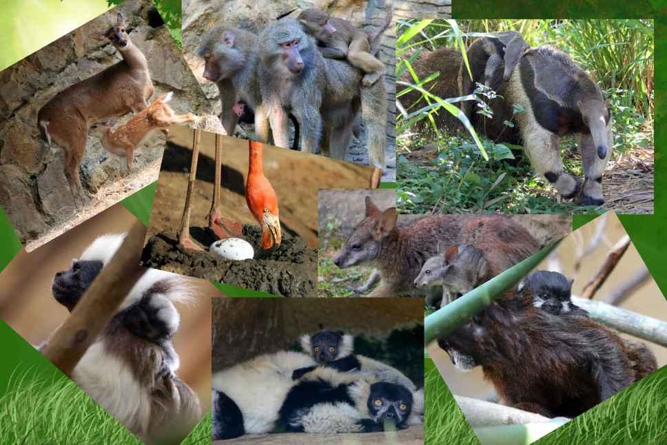 """""""Boom"""" de nacimientos se vive en el Zoológico de Cali"""