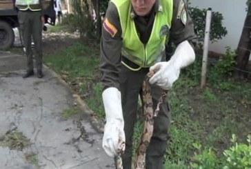 Policía Ambiental  incautó dos boas constrictor en Cali