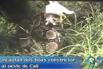 Dos boas constrictor fueron incautadas en Terrón Colorado