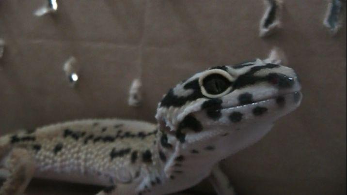 Policía Ambiental de Cali incautó un lagarto Gecko Leopardo