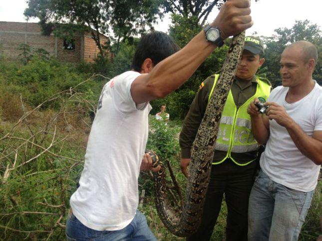 Boa constrictor aterroriza habitantes de Ginebra en el Valle