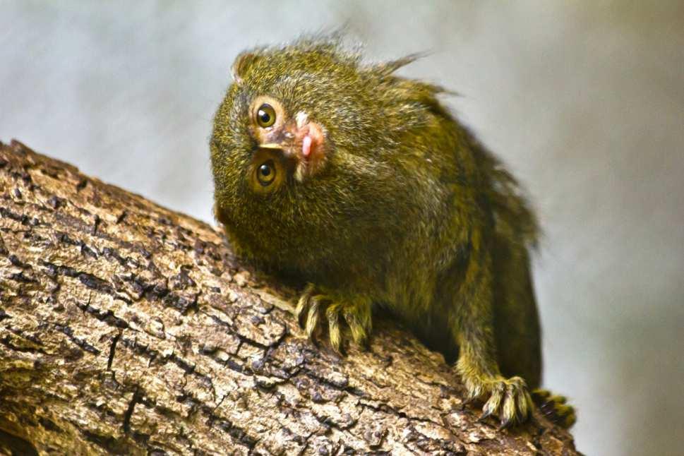 Jazquima será la nueva exhibición de primates del Zoológico