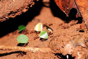Inician intervención al jarillón del Río Cauca con control de hormiga arriera