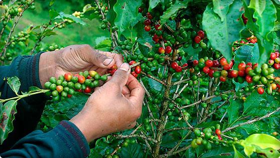 Más de $41 mil millones se entregaron a cafeteros del Valle