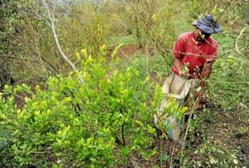 Se reducen las áreas de cultivos de coca en Colombia