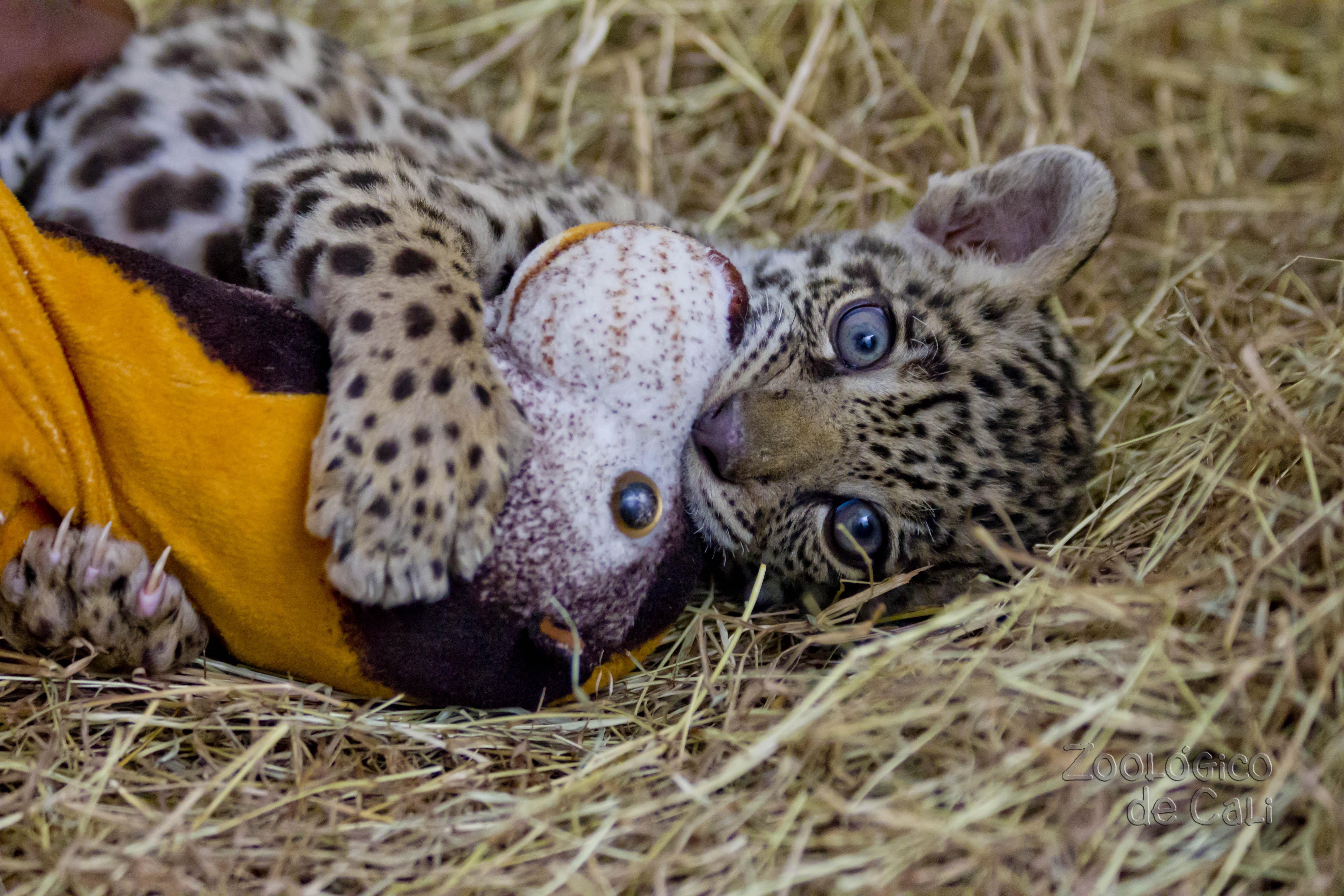 Bebé jaguar rescatado se criará en el Zoológico de Cali