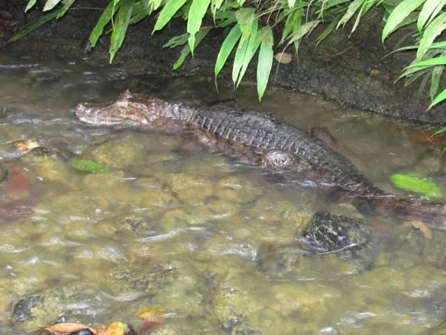 Un caimán y nueve tortugas liberadas en el pacífico