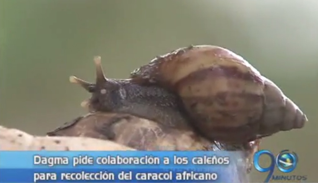 Dagma advierte sobre invasión de caracol africano