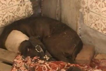 Caso de perra Pitbull despierta polémica en las redes sociales