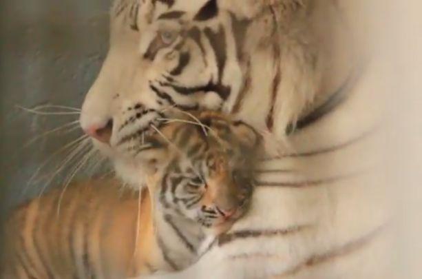 Vea el video de los tigres de bengala trillizos nacidos en Cali