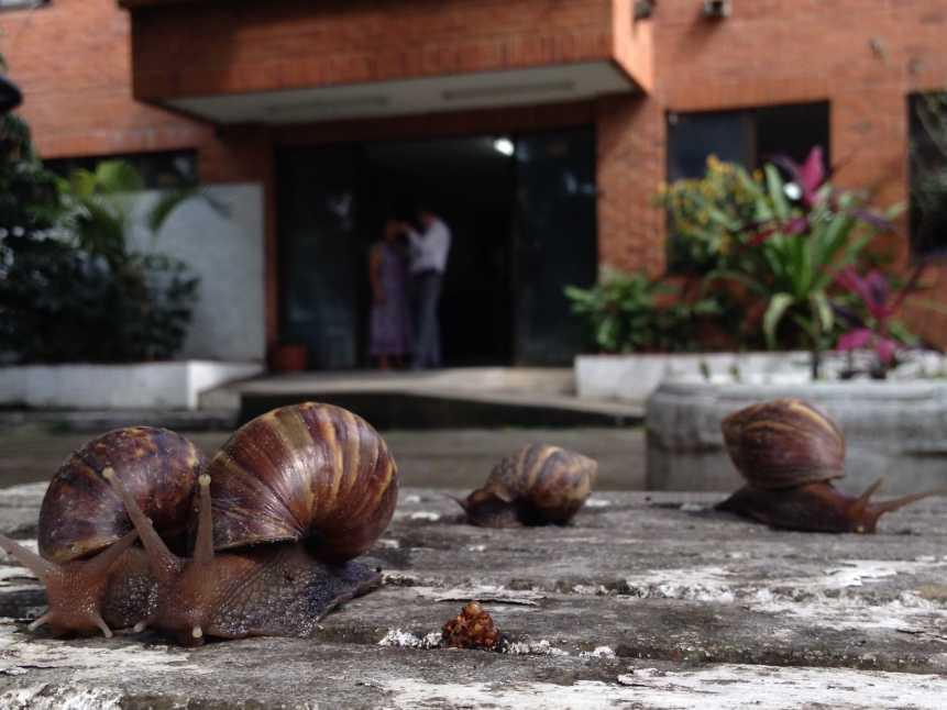 El caracol africano continúa invadiendo las calles de la ciudad