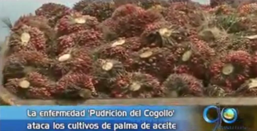 Preocupación entre agricultores de Tumaco por plaga que ataca a la palma de aceite
