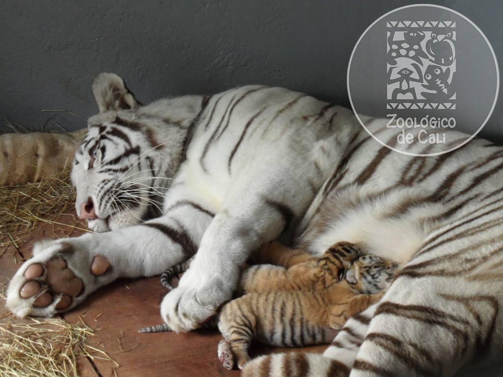 Visitantes del Zoológico ya pueden observar tigres de bengala cachorros