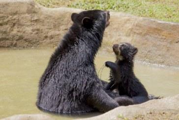 Wii la cría de oso de anteojos ya se podrá ver en el Zoológico