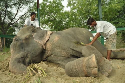 Elefante lloró tras ser liberado de abusos durante 50 años