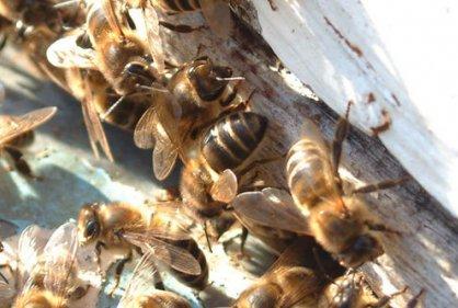 Cinco perdonas resultaron lesionadas por ataque de abejas
