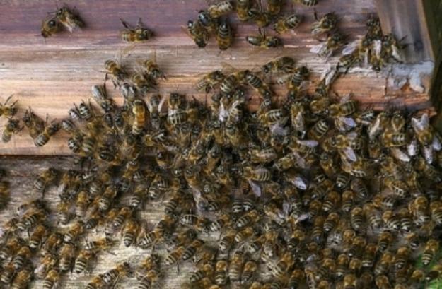 Nuevo ataque de abejas deja 18 menores lesionados
