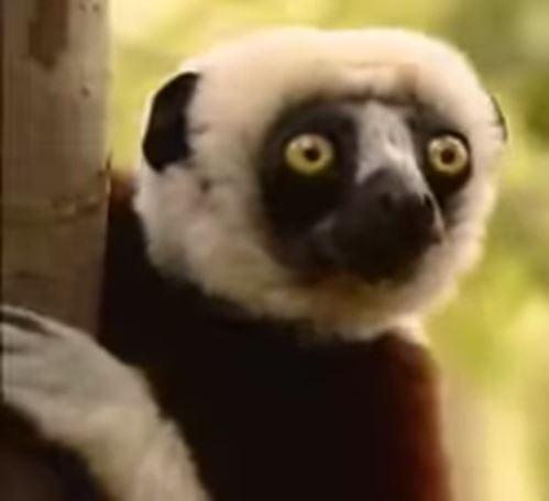 """Murió el lémur de la famosa serie infantil """"Zooboomafoo"""""""