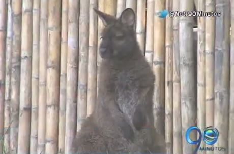 El Zoológico de Cali estrena nuevo hábitat sobre la fauna de Australia