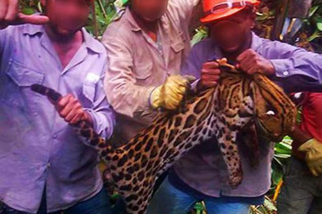 CVC anuncia investigación a responsables de la caza del tigrillo