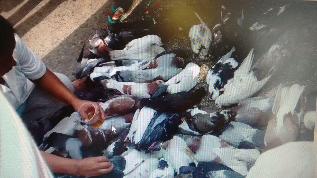 Envenenaron palomas de la iglesia del barrio Meléndez