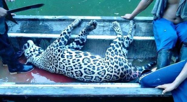 Indignación en Quibdó, Chocó, por la caza de una especie de Jaguar