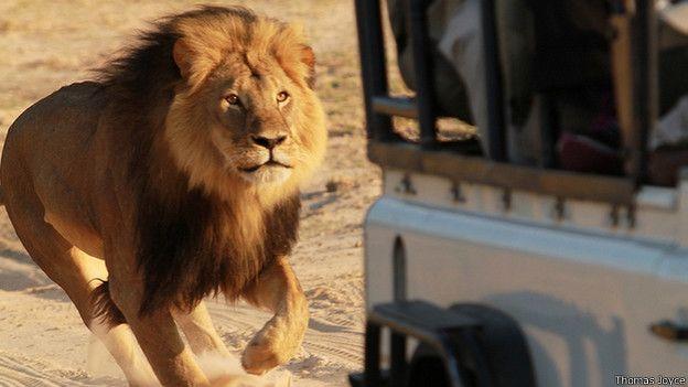 Dentista estadounidense mató a león símbolo de un parque en Zimbabue