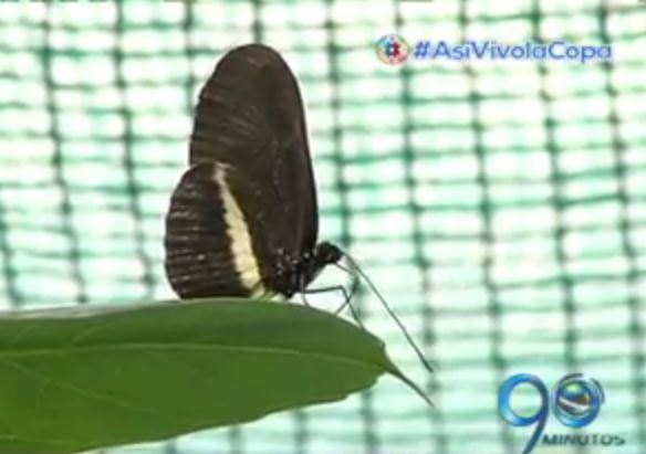 Una vallecaucana exporta mariposas a países donde no es posible que nazcan