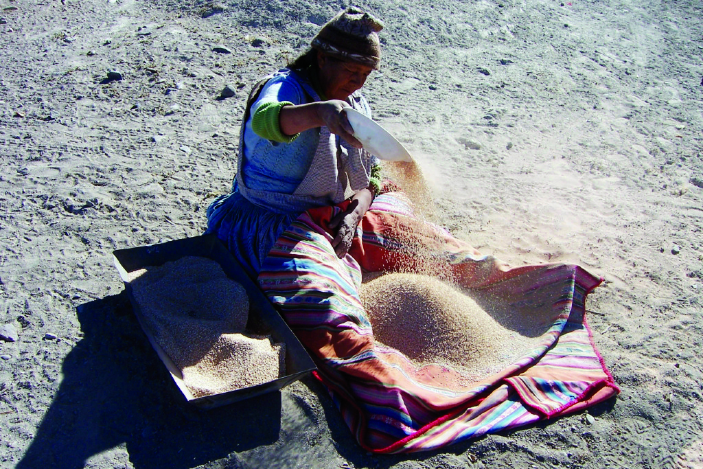 En Colombia incrementar la productividad del cultivo de quinua es prometedor