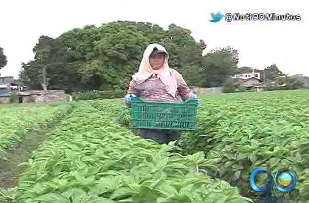 Empresa agrícola de Guacarí lidera exportación de albahaca a EE.UU.