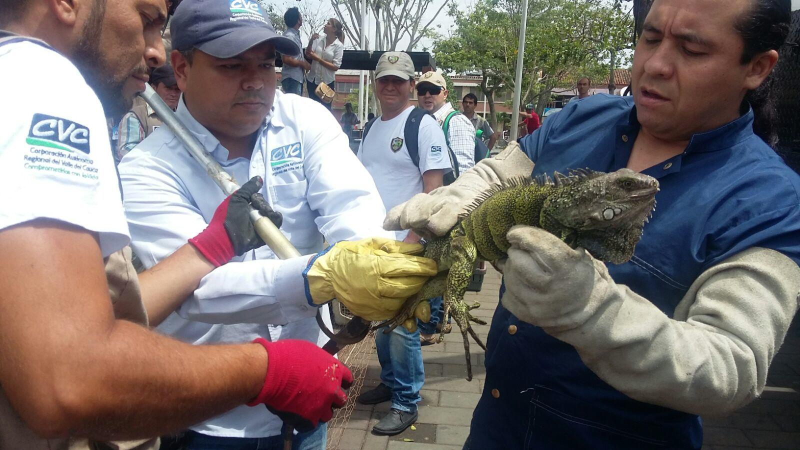 Para salvarlas de morir por la sequía, reubicadas iguanas del Parque Boyacá de Tuluá