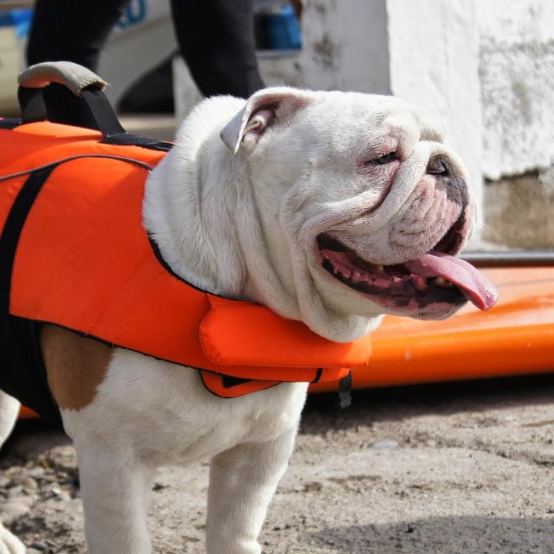 Otto, el perro que bate el récord guines de skateboarding
