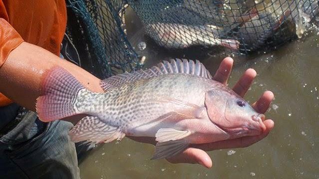 Alarma en Tuluá por muerte masiva de peces en el lago Chilicote