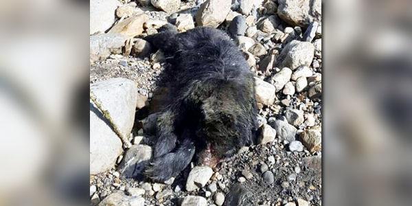 Concejal de Cundinamarca es acusado de matar a oso de anteojos