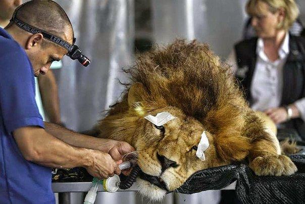 Llegaron a Sudáfrica leones rescatados en Colombia y Perú