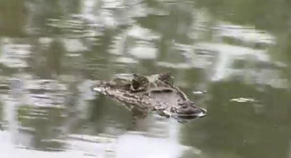 En video: avistamiento de una babilla en el lago Chillicote, en Tuluá