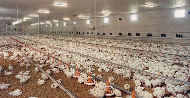 Séctor avícola suspendería actividades la próxima semana