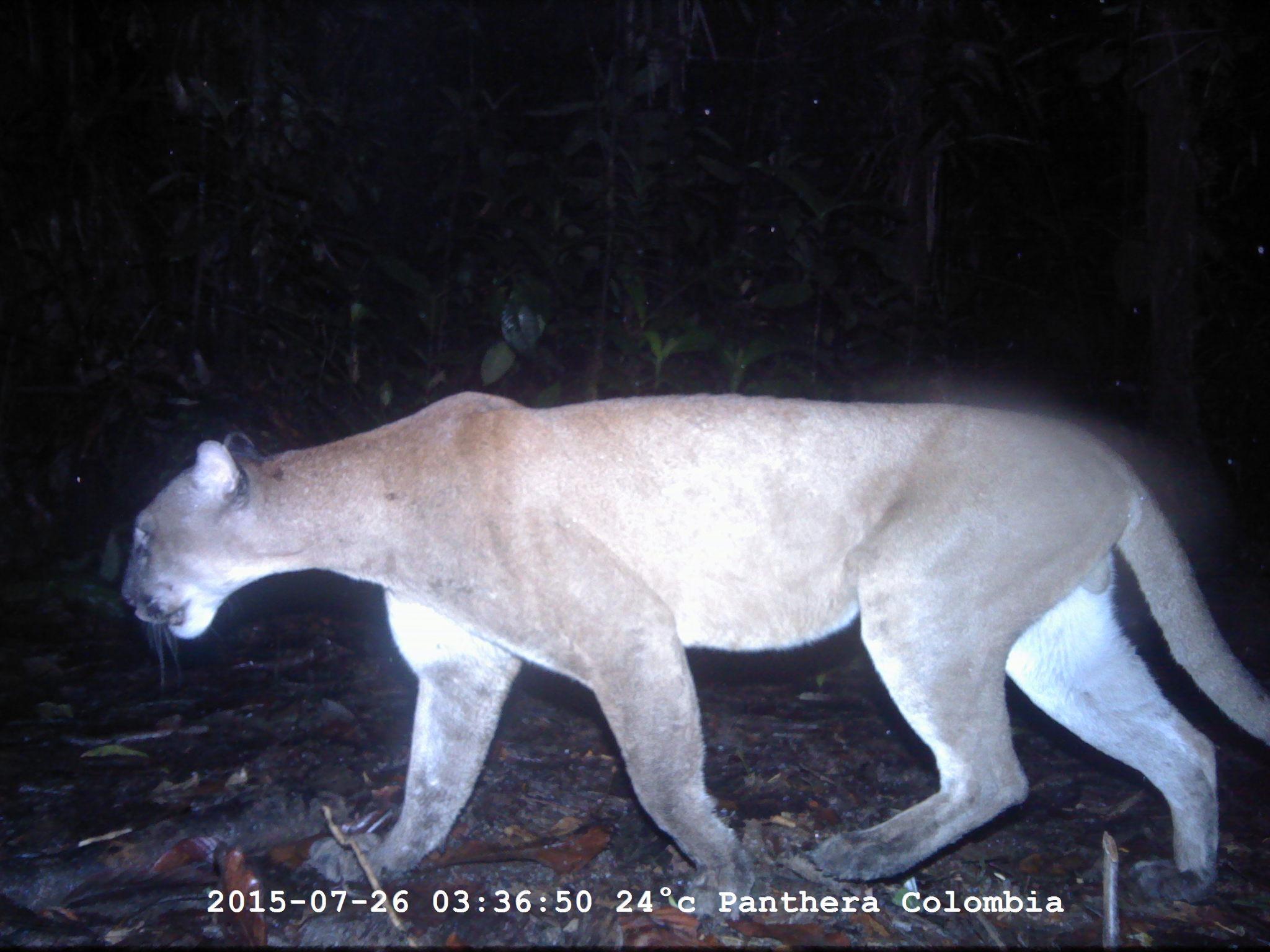 CVC constatará en Buga denuncias de ataques felinos