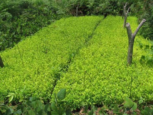 Gobierno reconoce que cultivos de coca aumentaron un 39%