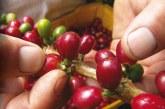 Denuncian que agricultores del Valle estarían dejando cultivos de café por sembrar coca